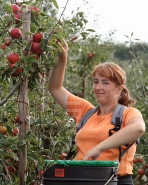 Práca-v-Anglicku-zber-jabĺk - Kopie